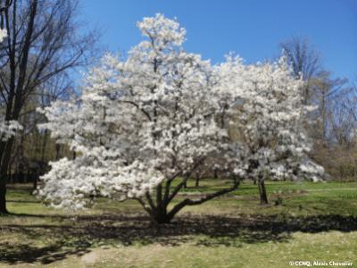 Arbre Magnolia en fleurs au parc du Bois-de-Coulonge à Québec